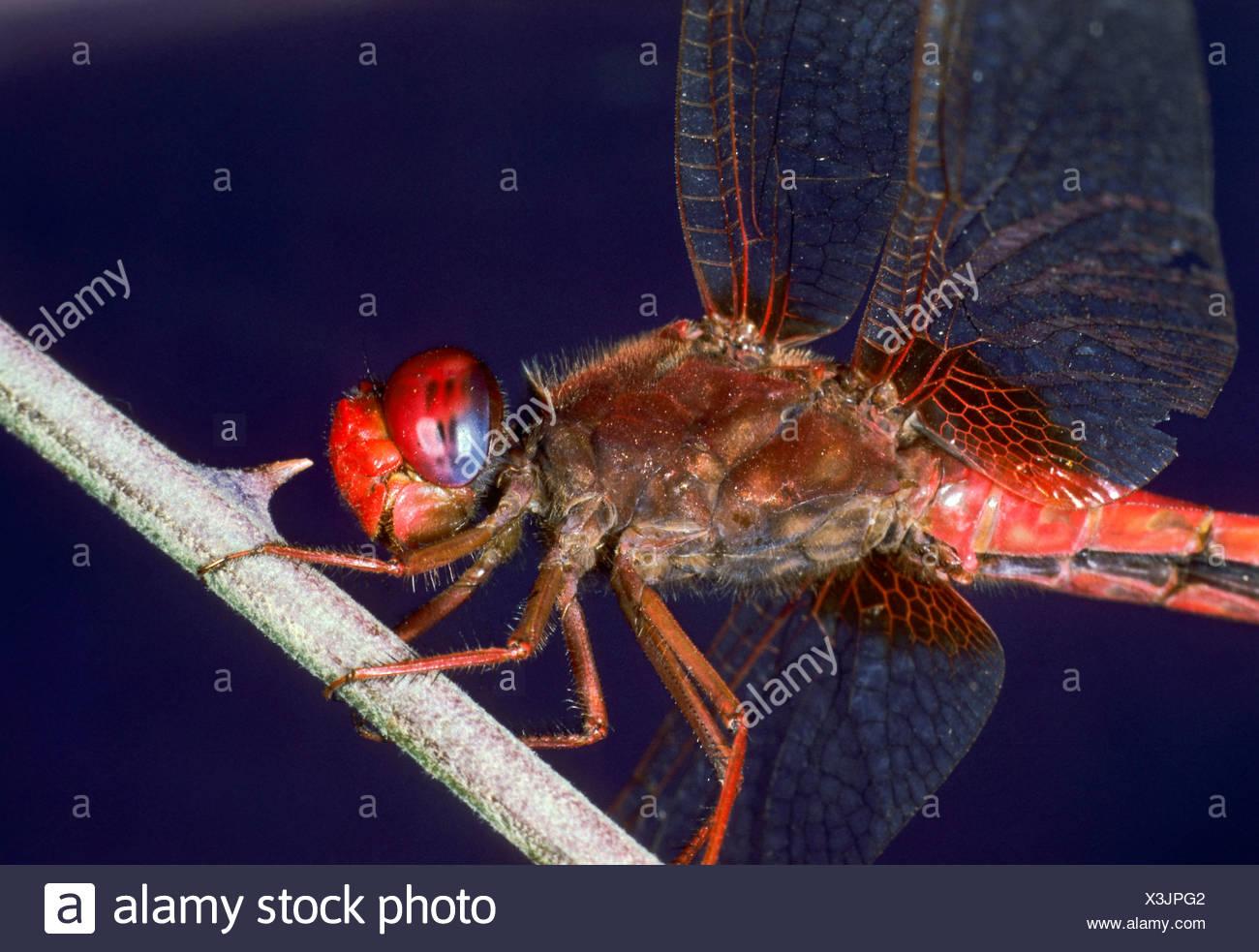Broad Scarlet, Common Scarlet-darter, Scarlet Darter, Scarlet Dragonfly (Crocothemis erythraea, Croccothemis erythraea), male sitting at a stem, Germany Stock Photo