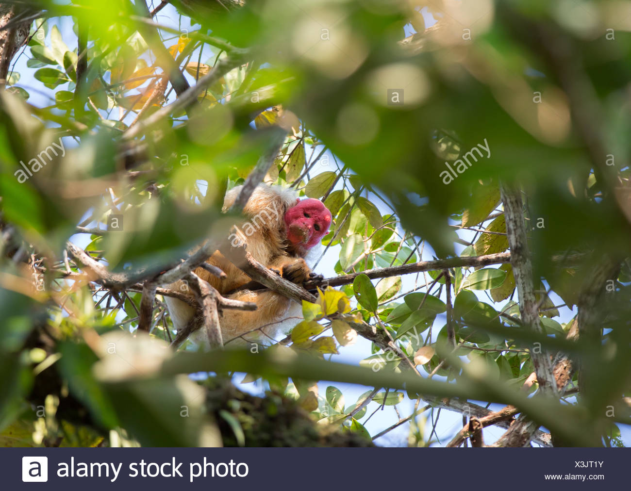 A white Uakari Monkey, Cacajao calvus, on branch of tree in the Amazon jungle. Stock Photo