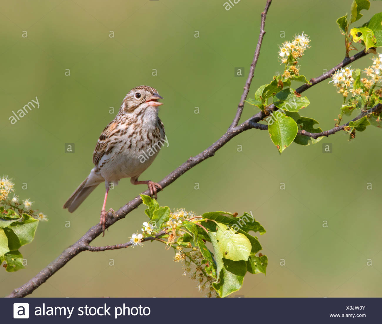 A  Vesper Sparrow, Pooecetes gramineus sings from a blooming shrub in Saskatoon, Saskatchewan - Stock Image