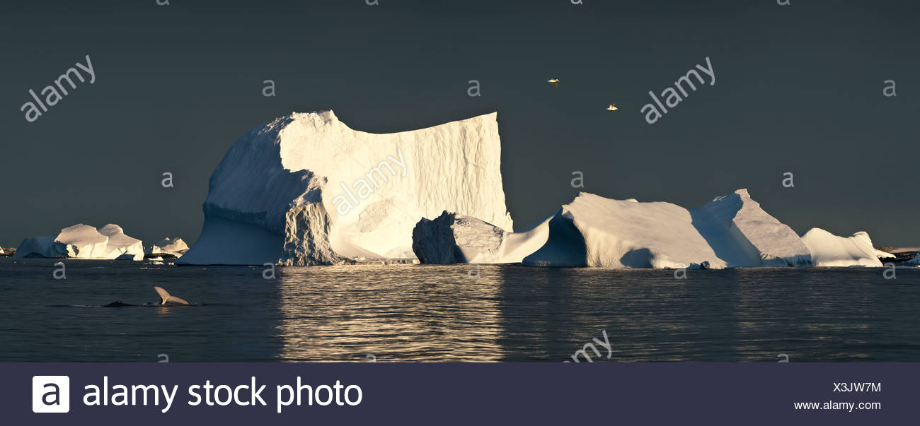 Kelp Gulls flying over icebergs at sunrise, with Humpback Whale, Vernadsky, Antarctica - Stock Image