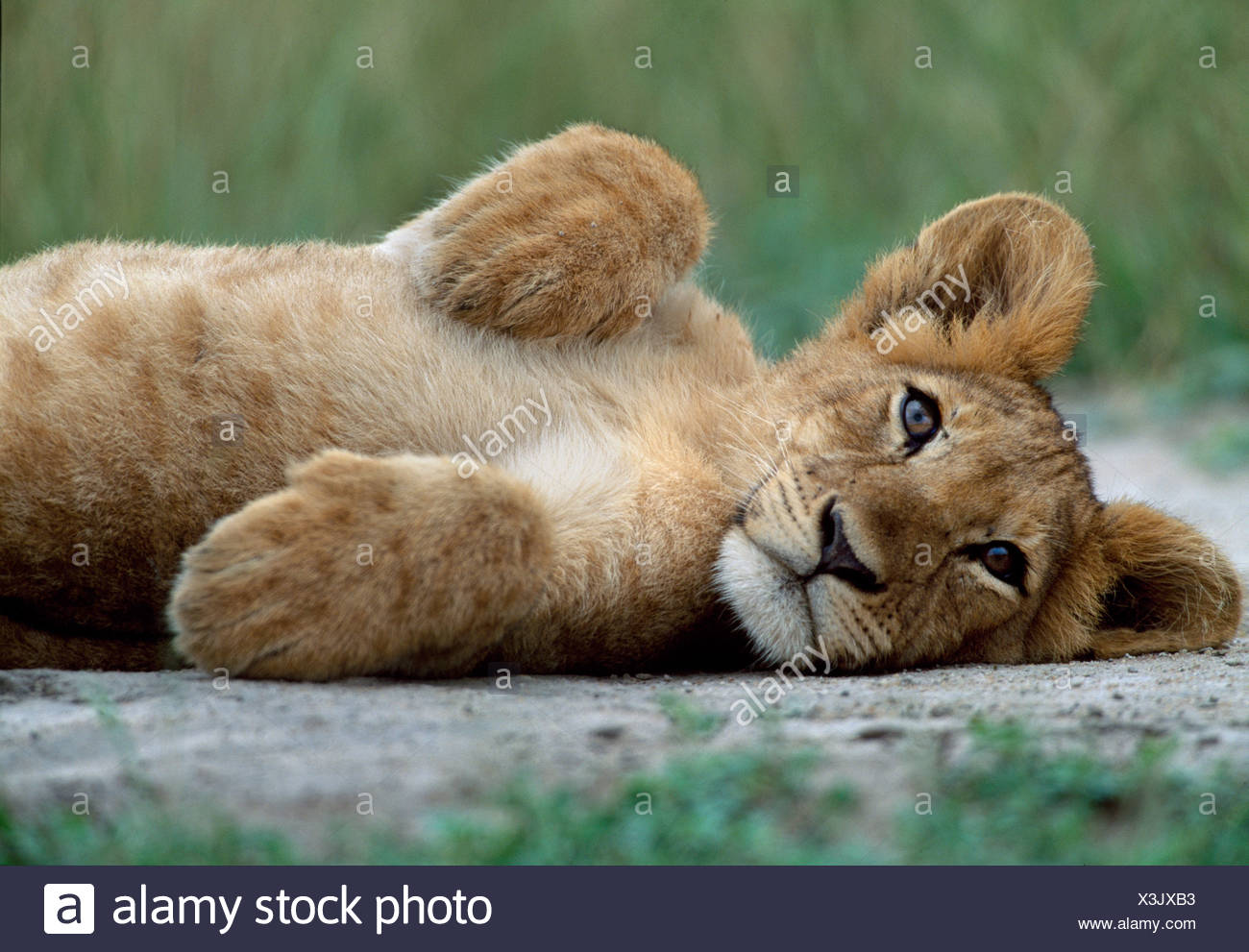 Lion cub, Queen Elizabeth Park, Uganda - Stock Image
