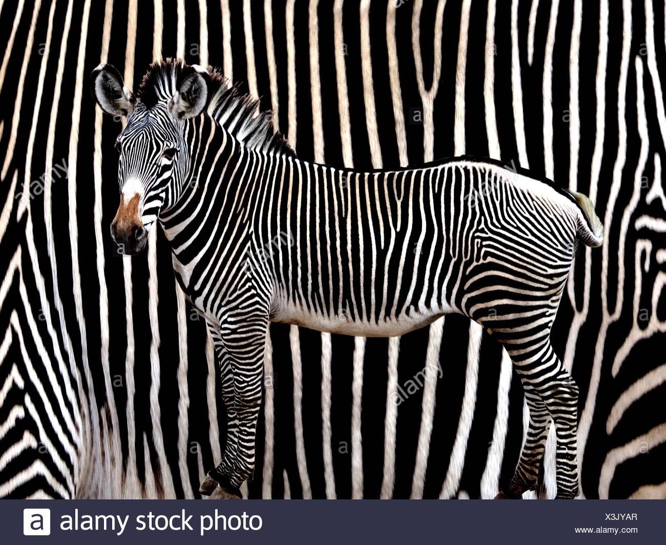 Digital Composite Image Of Zebra Against Striped Pattern - Stock Image