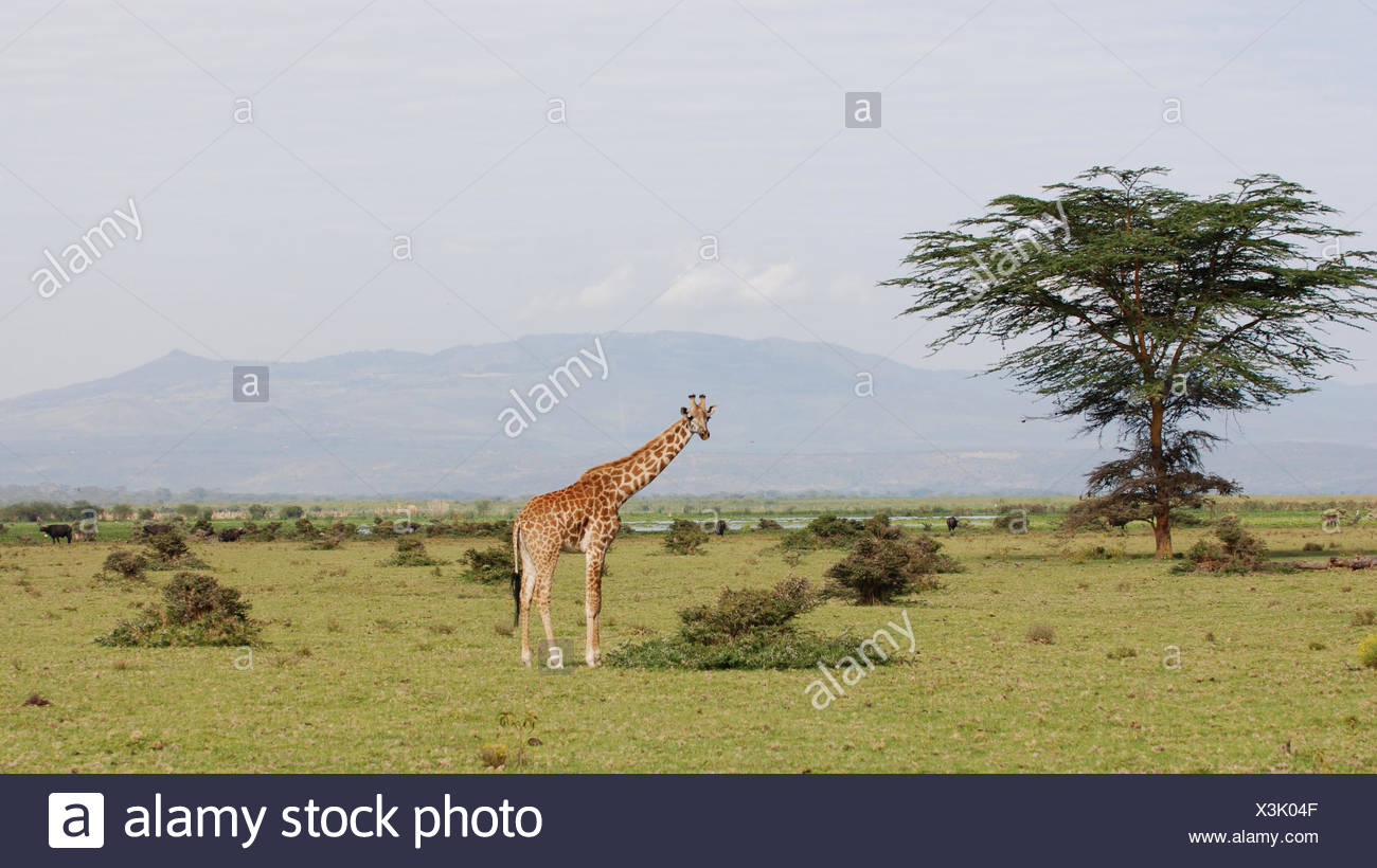 africa savannah giraffe Stock Photo