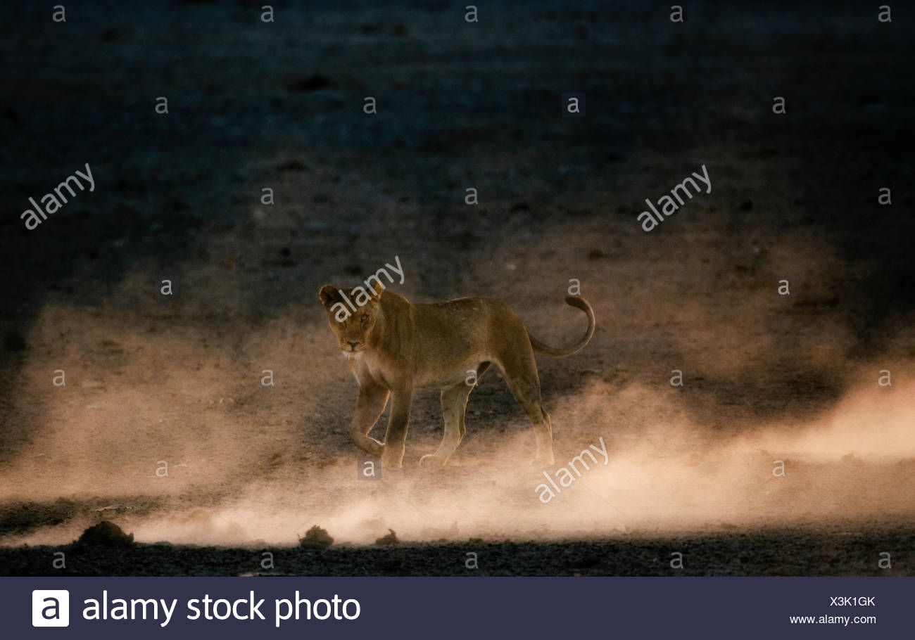 A lioness, Panthera leo, walking in the dust. - Stock Image