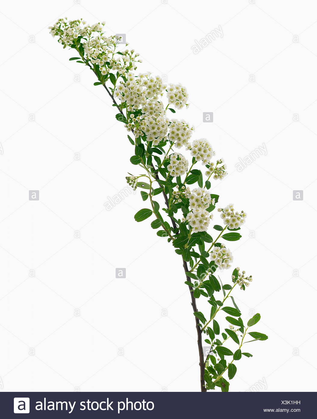 White flowers on single stem against a white background cutout stock spiraea nipponica snowmound white flowers on single stem against a white background stock mightylinksfo