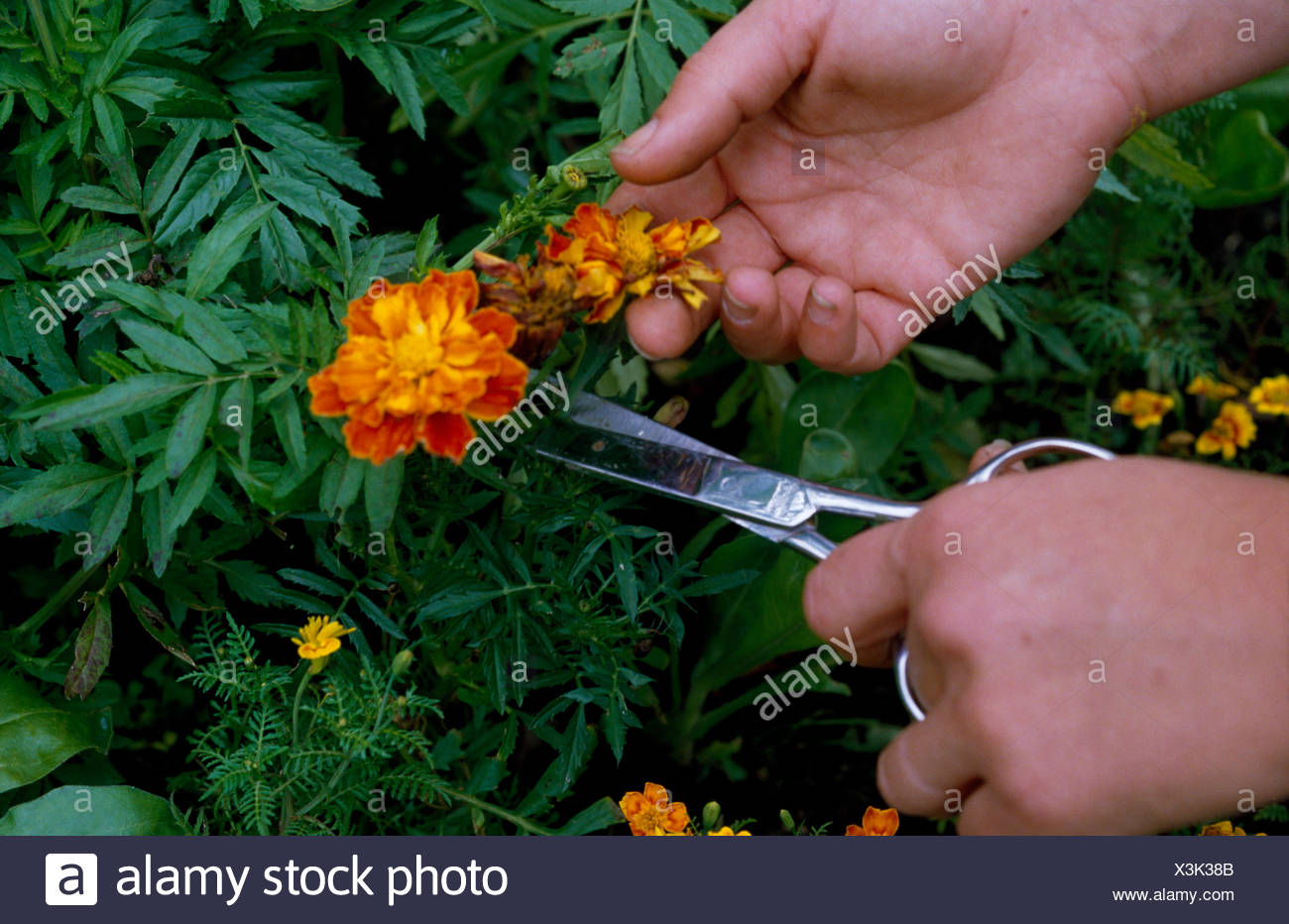 Close-up of hands dead-heading Tagetes - Stock Image