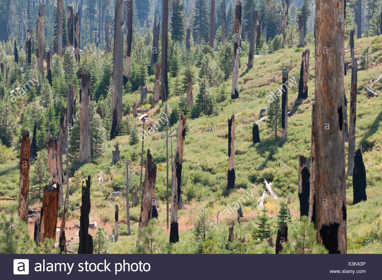 Conifer cultivar, Conifer, Green. - Stock Image