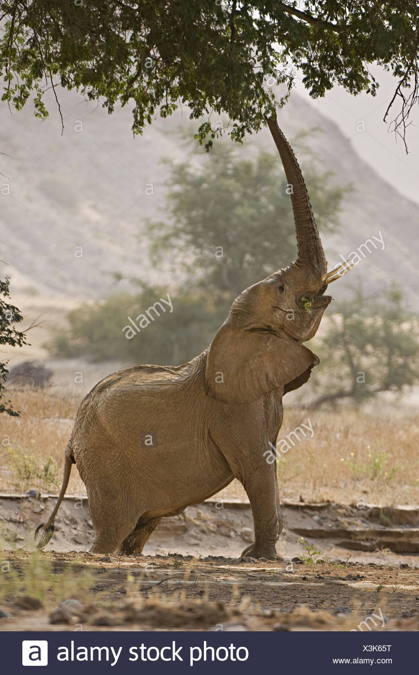 A desert elephant Loxodonta africana reaching for browse in the tree branches Huab River Torra Conservancy Damaraland Namibia - Stock Image