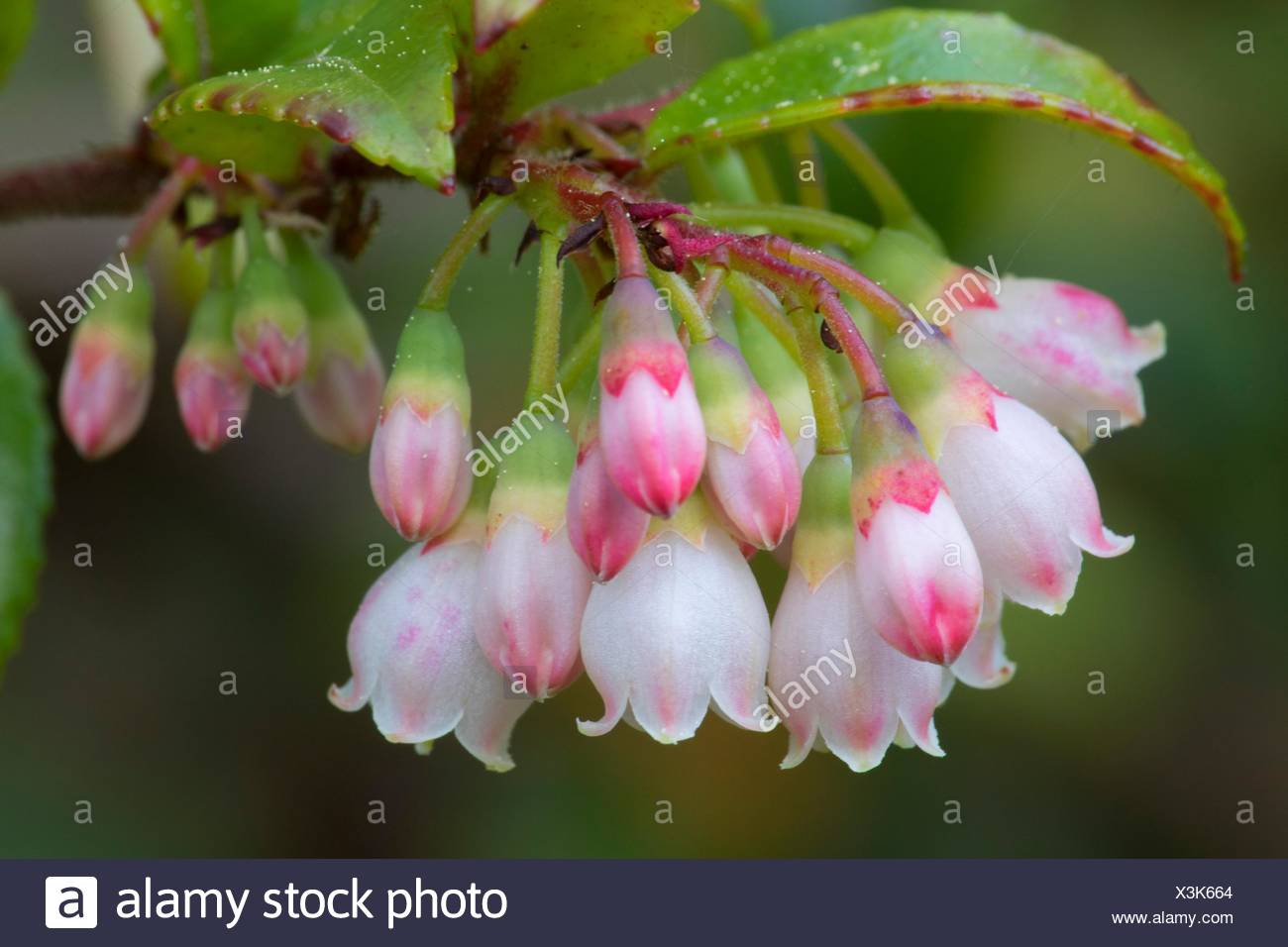 Evergreen huckleberry (Vaccinium ovatum) blooms along Muddy Lake Trail, New River Area of Critical Environmental Concern, Coos Bay Bureau of Land - Stock Image