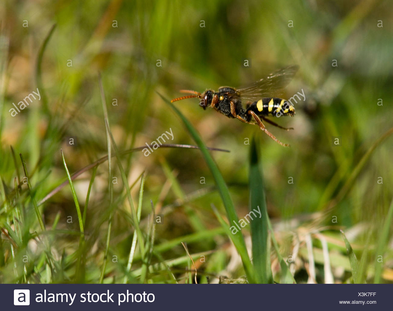 Hymenopteran flying over the grass, Sweden. - Stock Image
