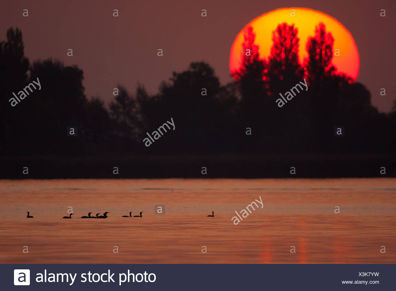 great cormorant (Phalacrocorax carbo), cormorants swimming on river Rhein at sunset, Switzerland, Sankt Gallen, Rheineck - Stock Image