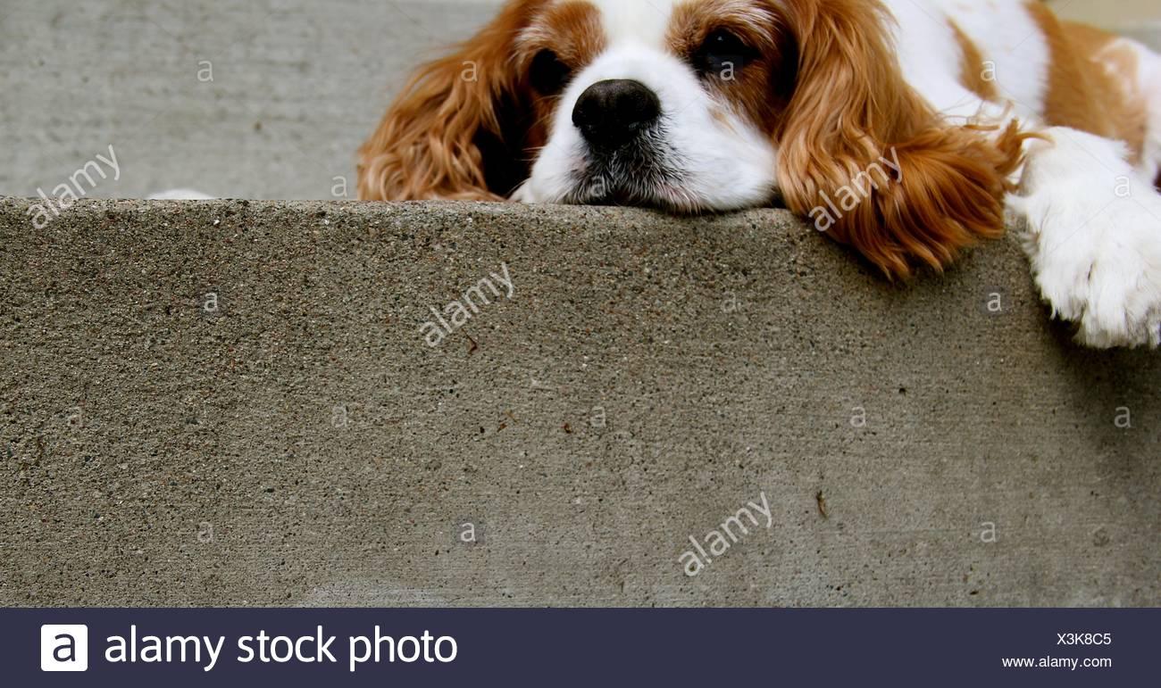 Sad dog lying on fortified wall - Stock Image
