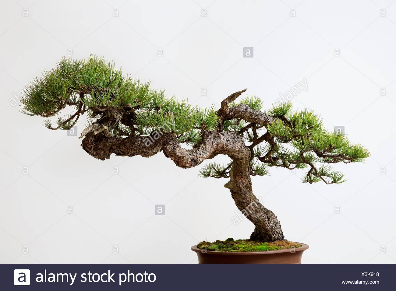 Bonsai Pinus ponderosa (Ponderosa Pine) - Stock Image