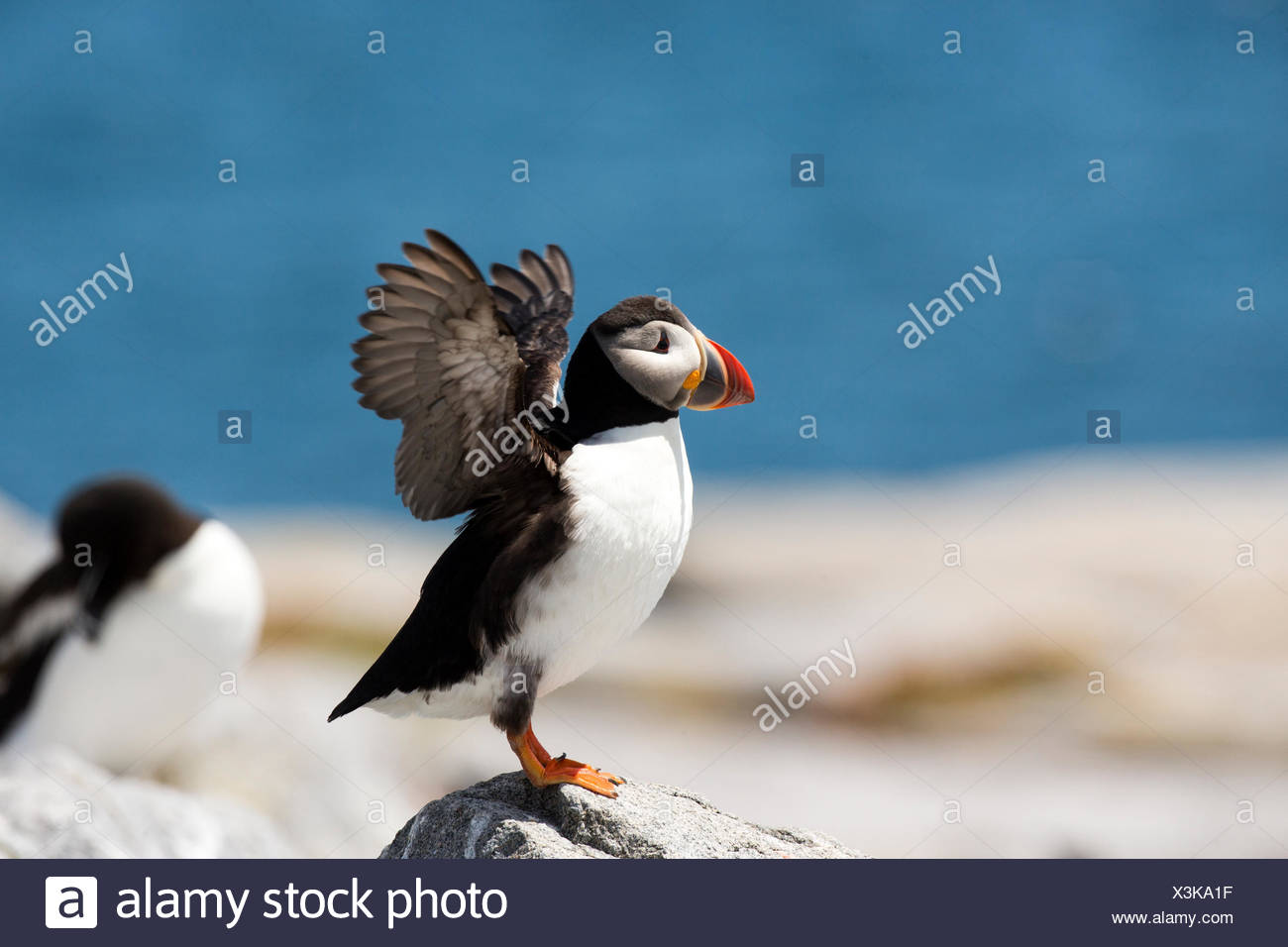 An Atlantic puffin,Fratercula arctica,spreads its wings. Stock Photo