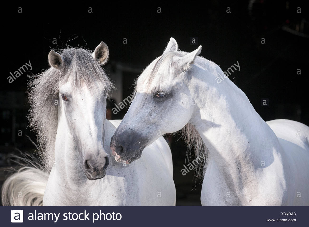 Pure Spanish Horse, Andalusian. Portrait of two gray stallions, seen against a black background. Germany - Stock Image