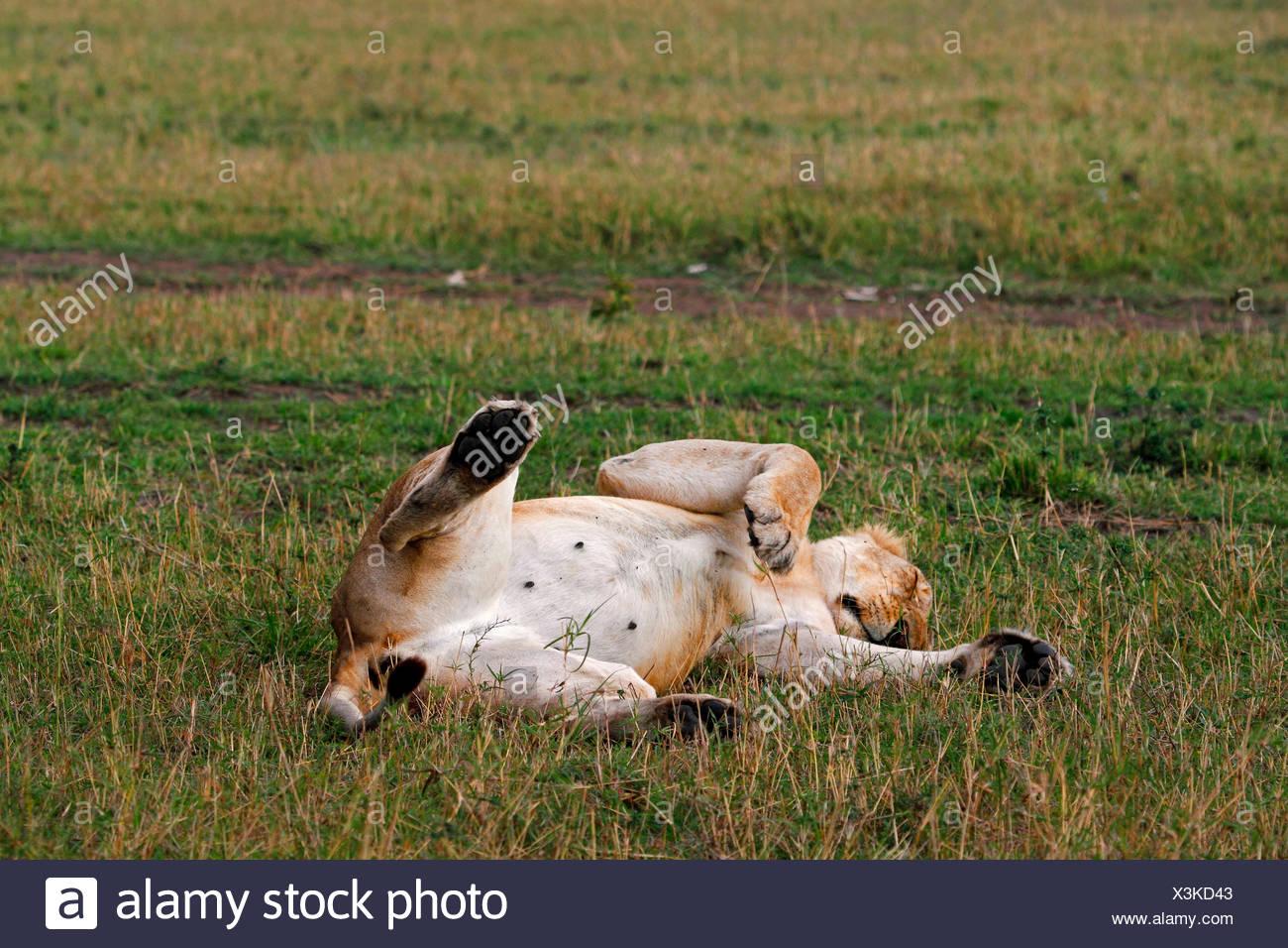 lion (Panthera leo), lys in supine position sleeping, Kenya, Masai Mara National Park - Stock Image