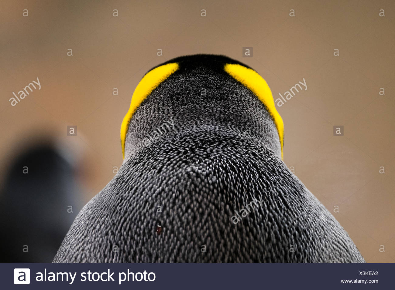 Bright yellow-orange head and neck feather plumage on a King Penguin. - Stock Image