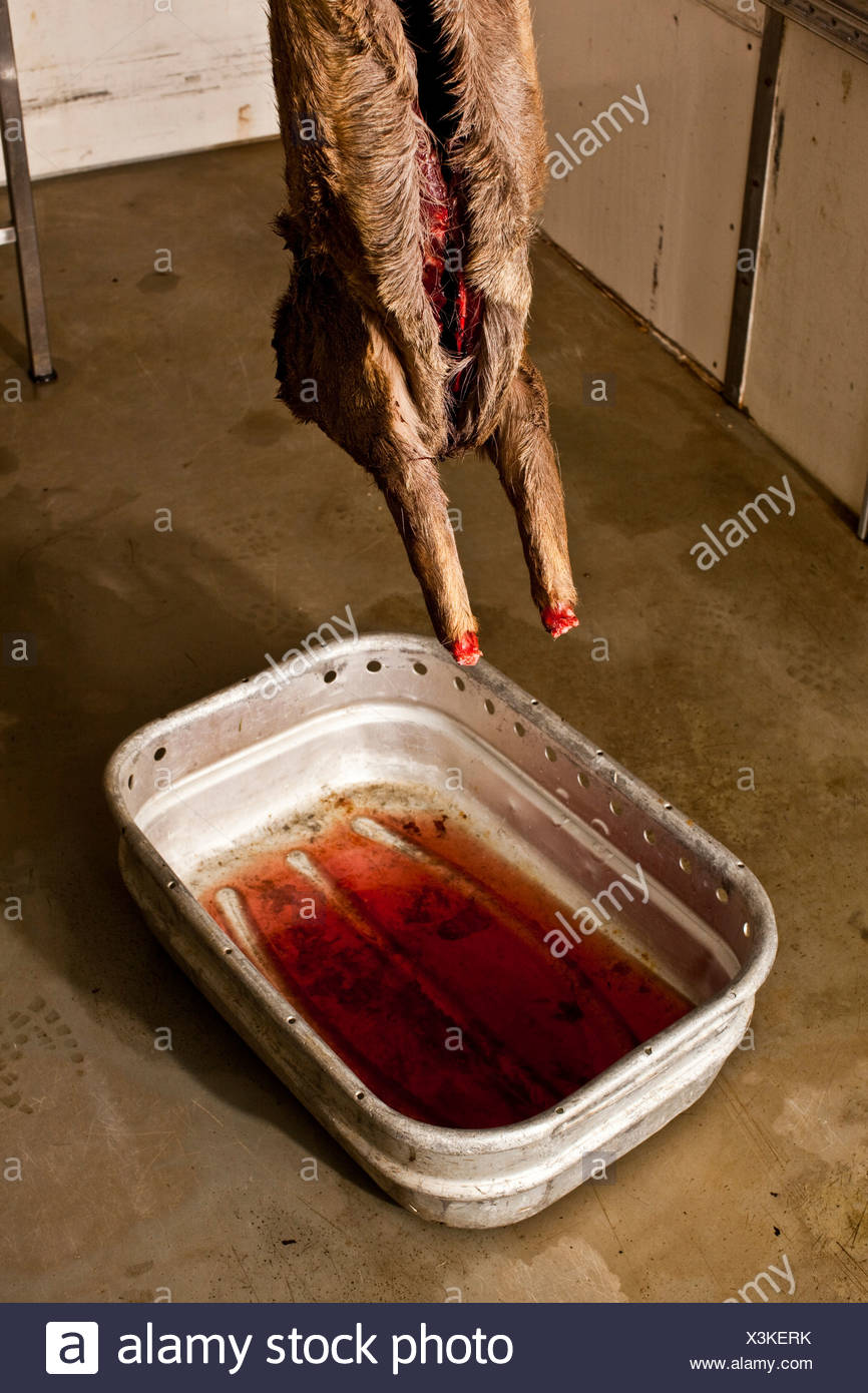 Blood draining from carcass of deer, Thetford forest, UK - Stock Image