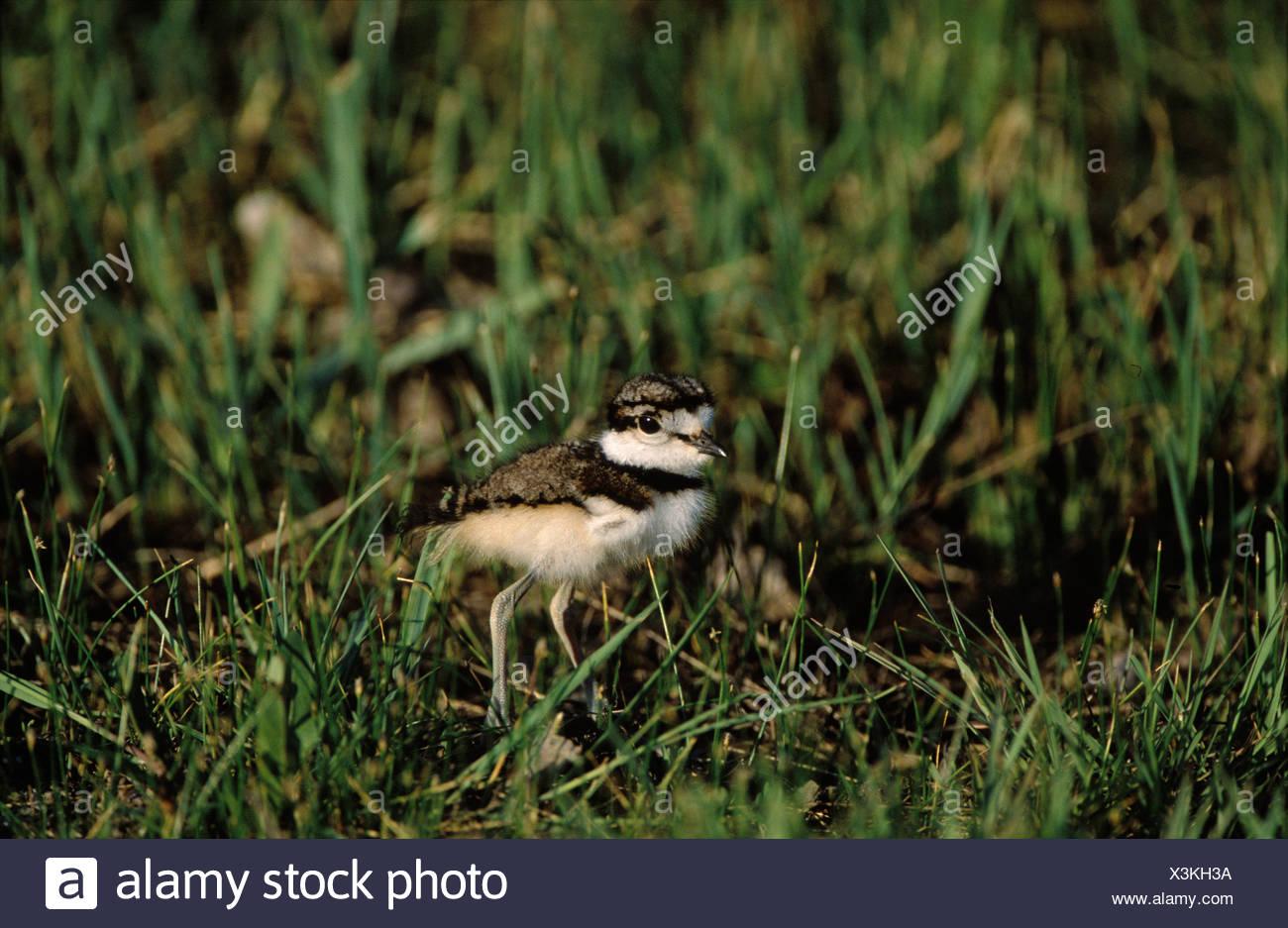 Killdeer (Charadrius vociferus) chick, Prince Edward Point National Wildlife Area, Ontario, Canada - Stock Image