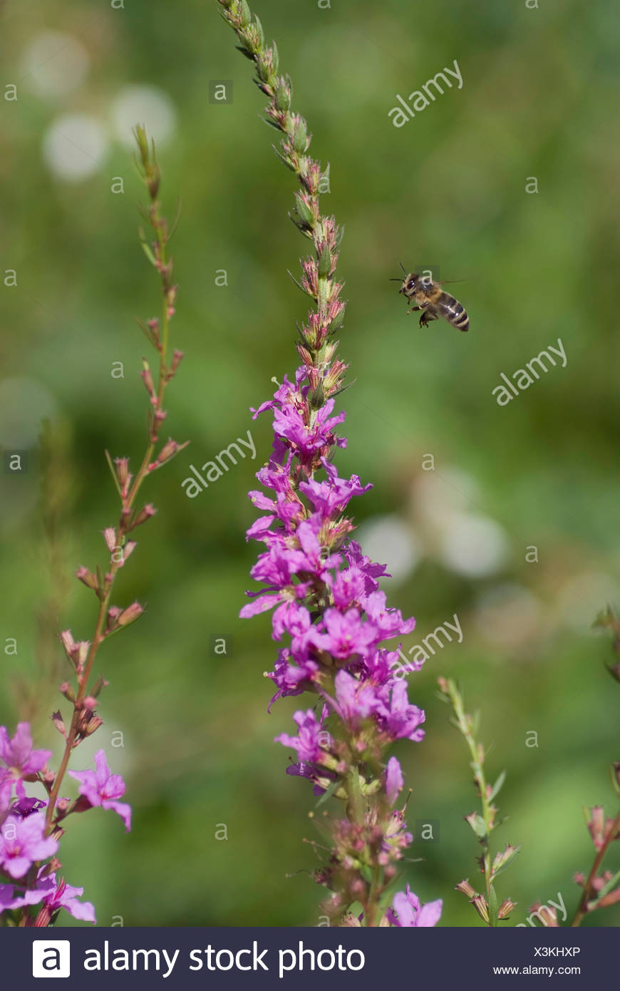 European Wand Loosestrife, Purple Loosestrife, Wand Loosestrife (Lythrum virgatum), bee approaching an inflorescence, Germany, BGFFM - Stock Image