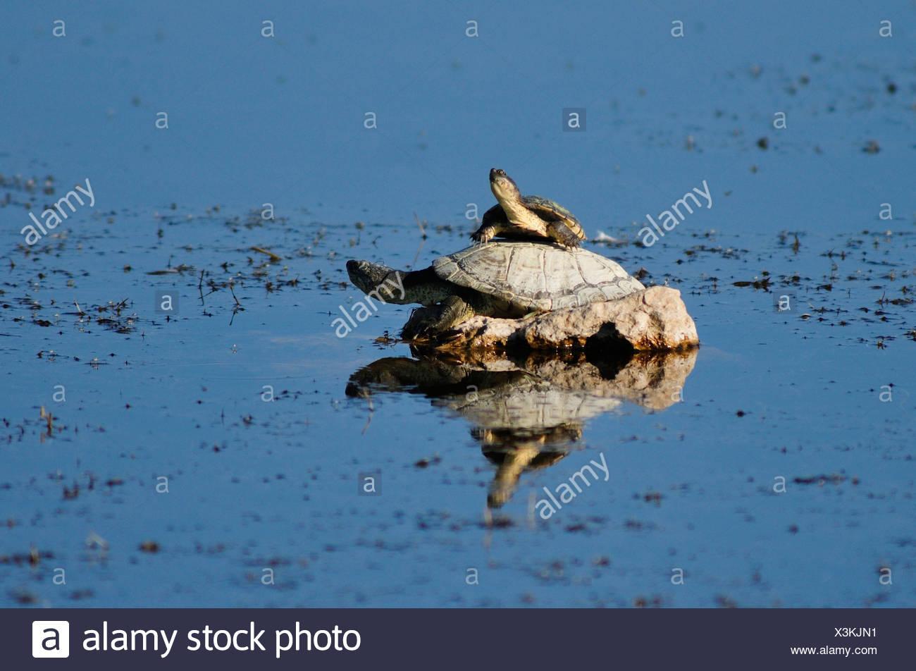 Africa, Etosha, National Park, Namibia, african, animal, horizontal, turtle, animal, tortoise, turtle - Stock Image