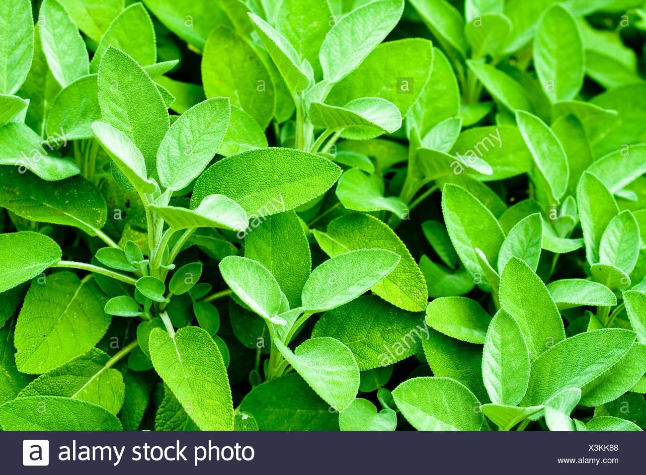sage, Salvia farinacea Stock Photo