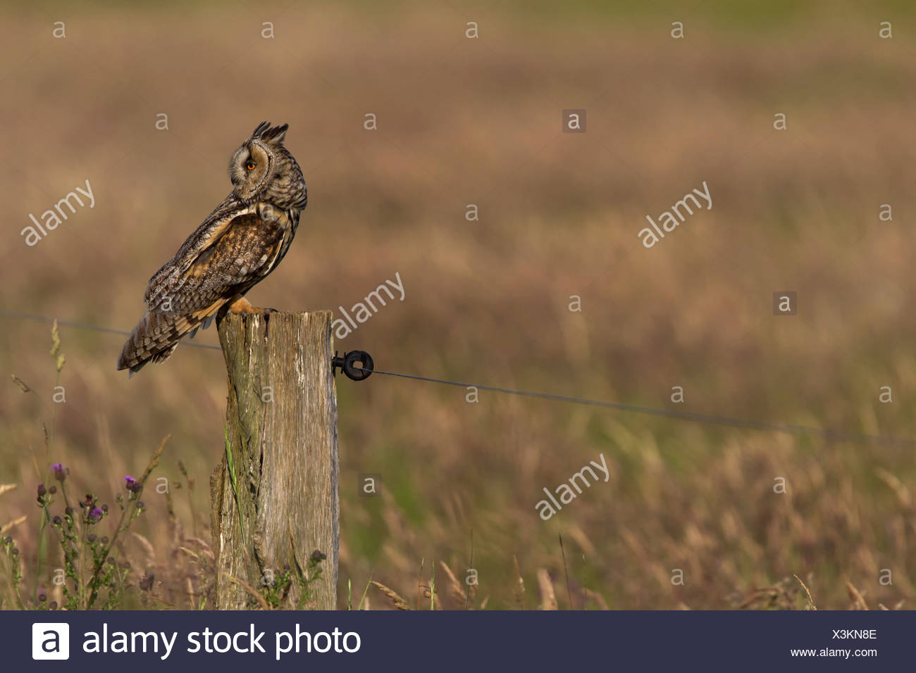 long-eared owl (Asio otus), sitting on a wooden post watching out, Germany, Lower Saxony, Langeoog - Stock Image
