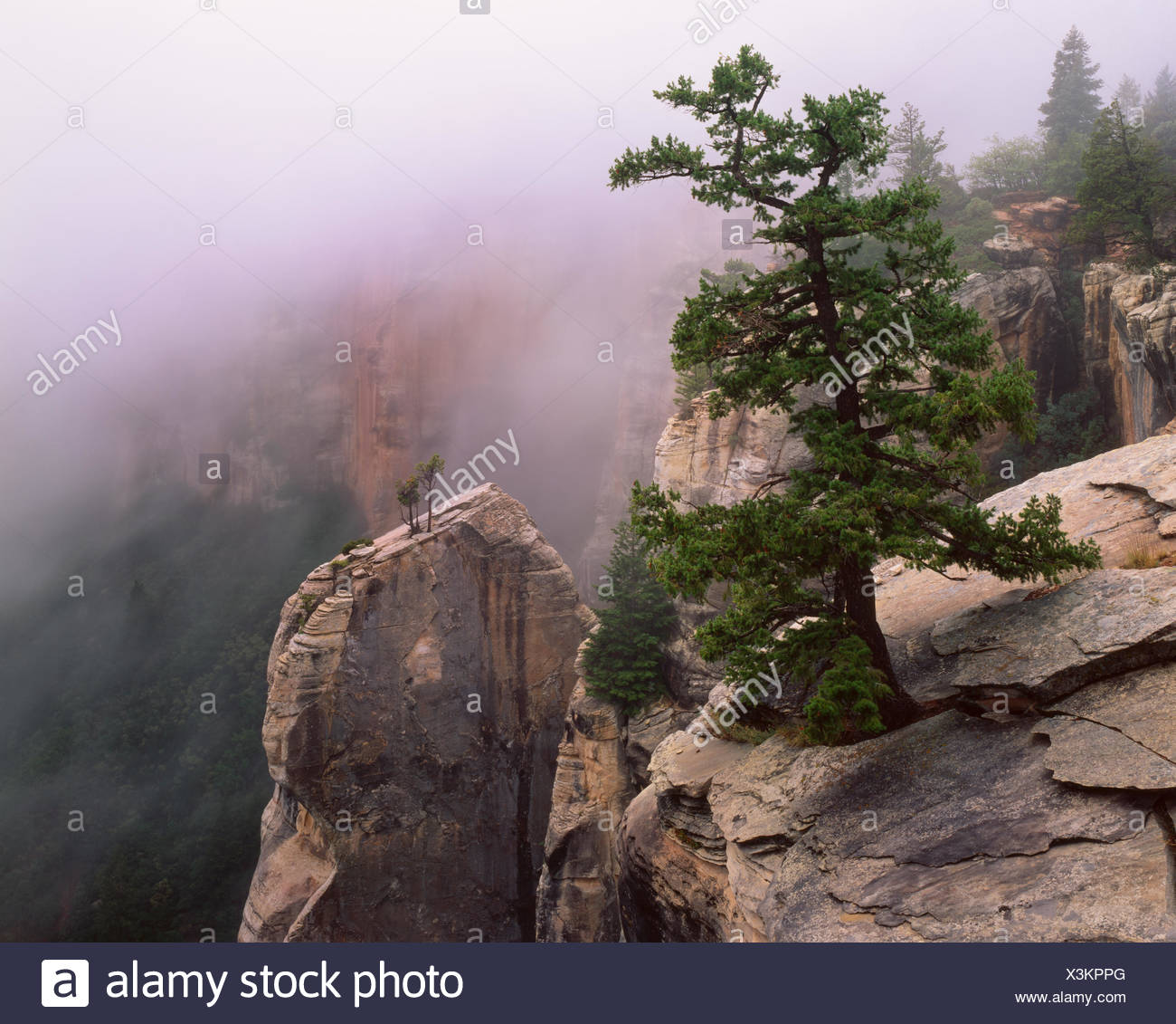 Pinyon pine (Pinus edulis) and Utah juniper (Juniperus osteosperma) on kaibab limestone spires in morning fog, North Rim, North Kalbab Trail, Grand Canyon National Park, Arizona, USA - Stock Image