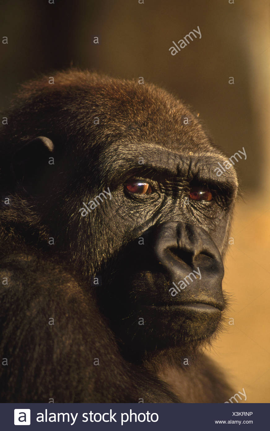Lowland gorilla Gorilla gorilla Native to Congo (DRC) Congo Stock Photo