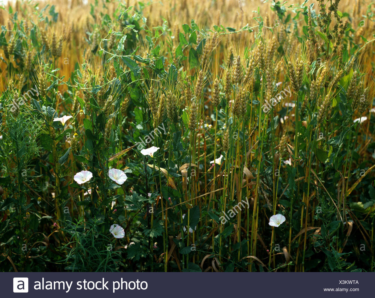Field bindweed (Convolvulus arvensis) annual flowering arable weed in a wheat crop, France - Stock Image