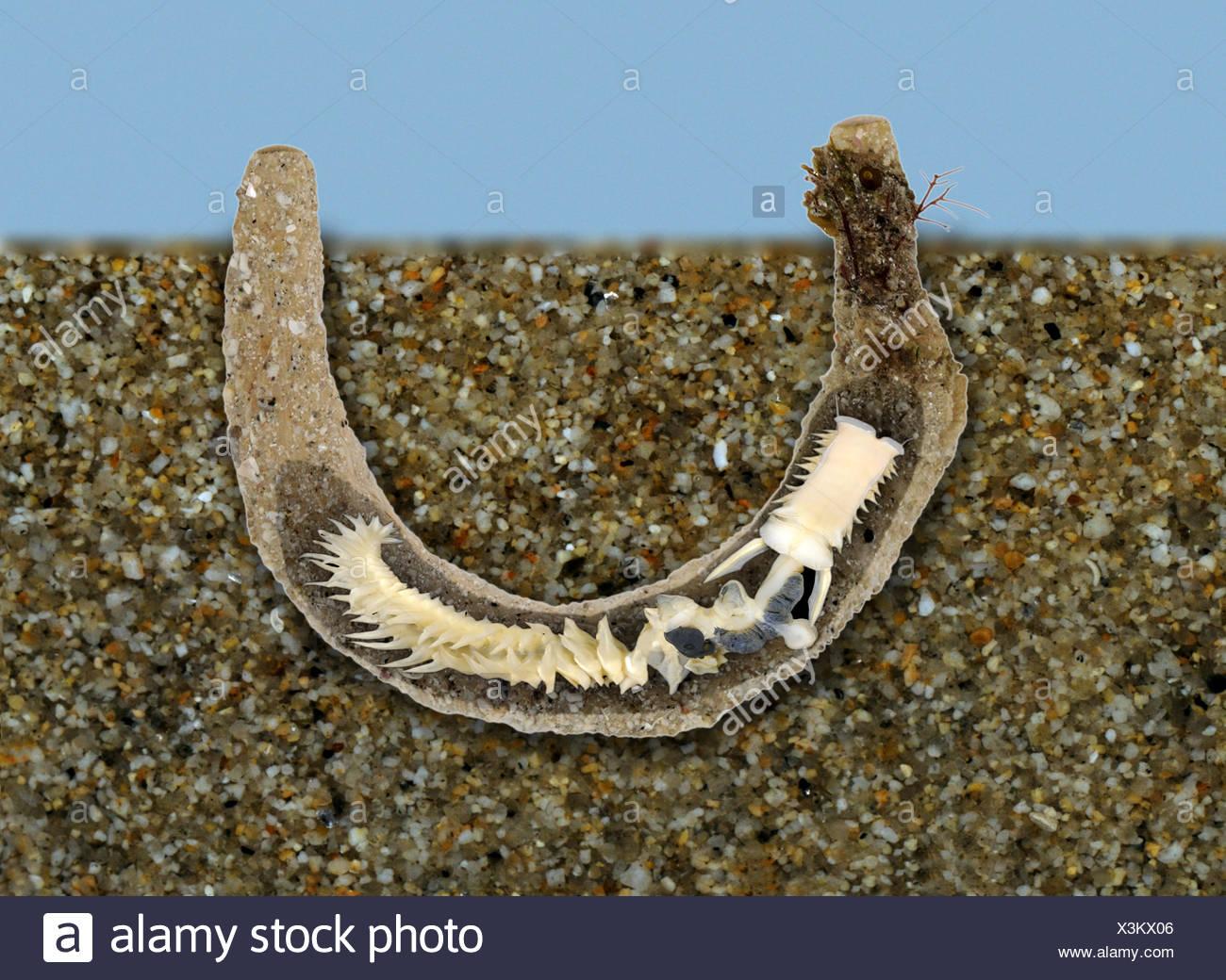 Parchment Worm - Chaetopterus variopedatus - Stock Image