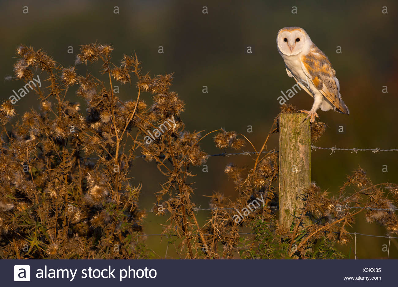 Barn Owl perched on a fence post in autumn - GB - Stock Image