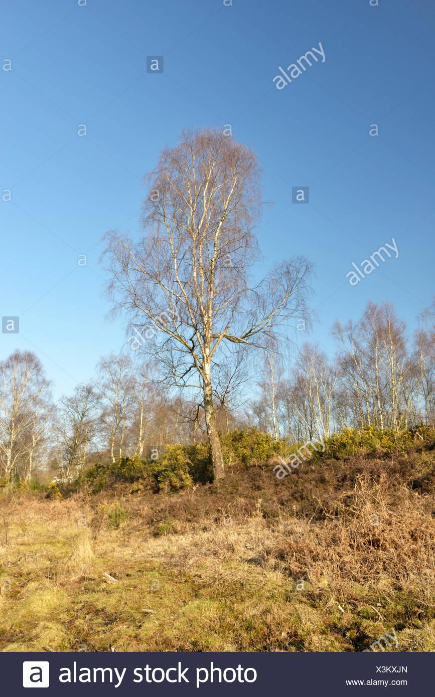 Silver Birch -  Betula pendula Betulaceae - winter. - Stock Image