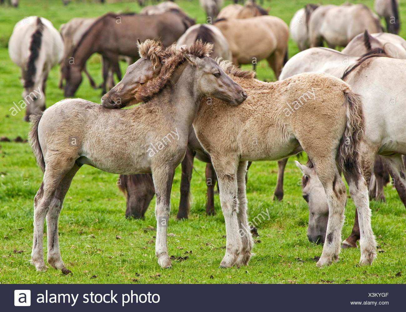 Duelmen pony, Dulmen pony, Duelmener Wildpferd, Dulmener Wildpferd (Equus przewalskii f. caballus), foals in the herd of wild horses in Duelmen, Germany, North Rhine-Westphalia, Duelmen Stock Photo