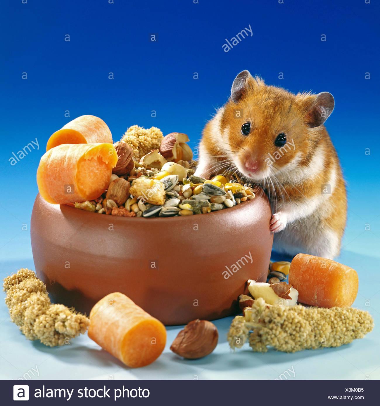 golden hamster (Mesocricetus auratus), at a feeding bowl