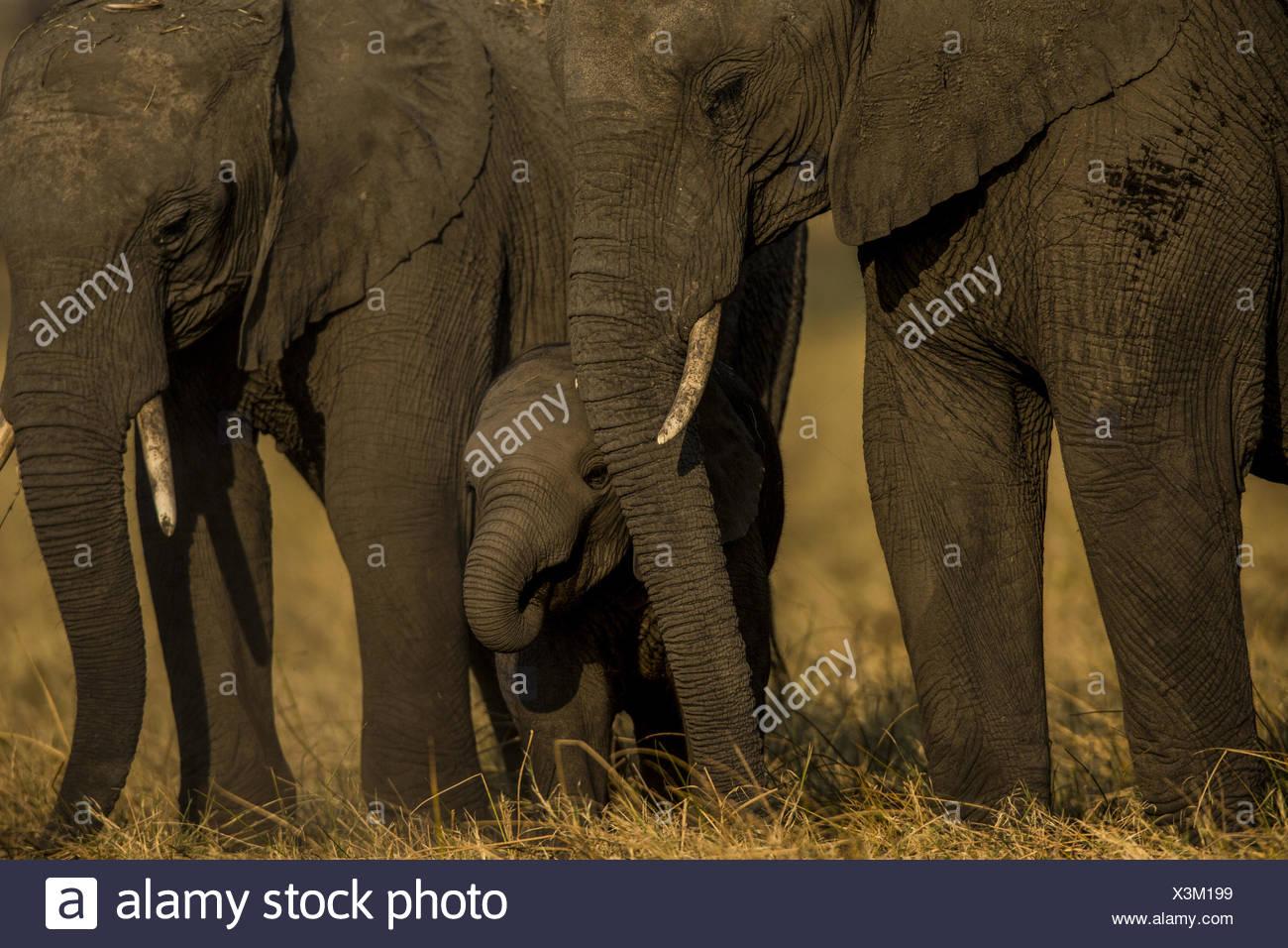 An elephant calf, Loxodonta africana, standing between adult elephants as they graze. - Stock Image