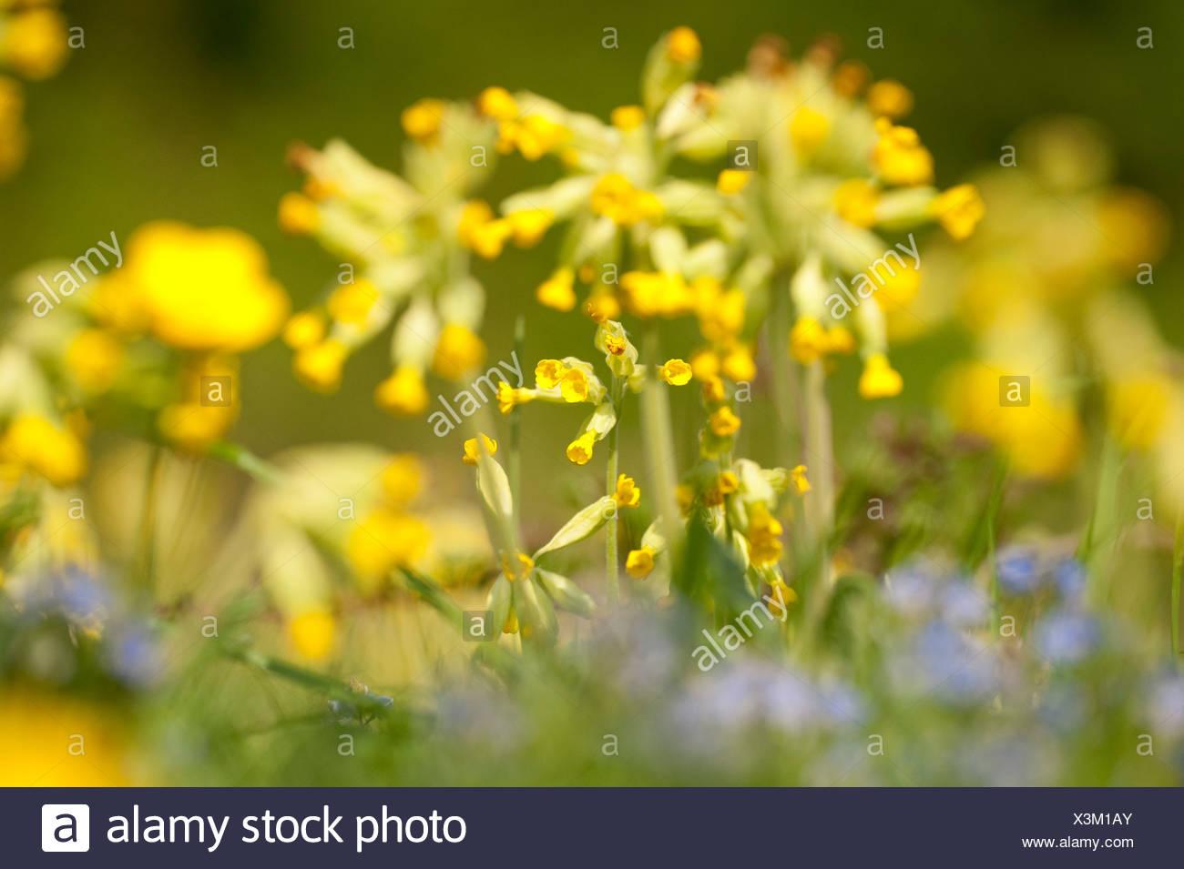 Cowslip Primula veris Park Gate Down UK Stock Photo