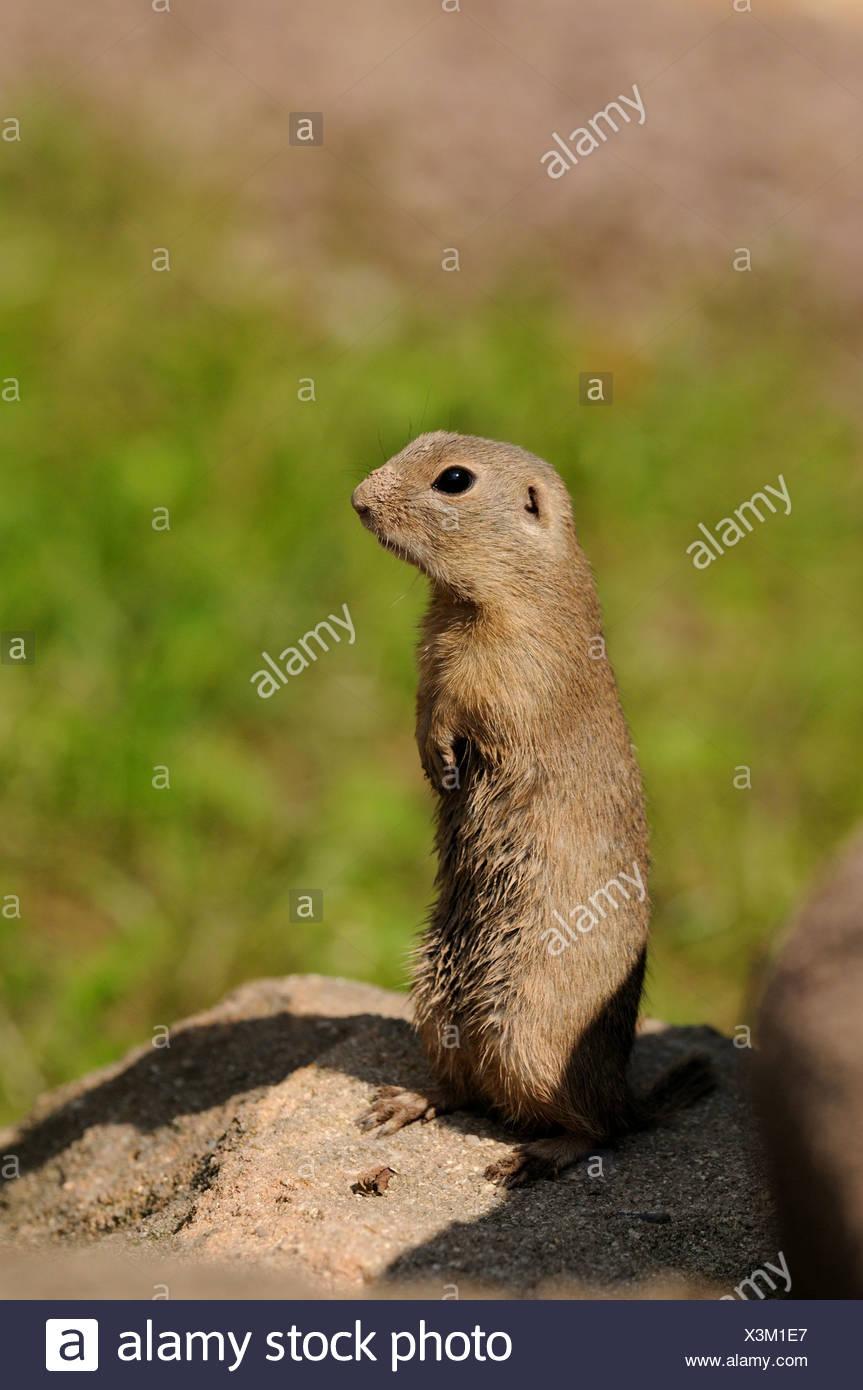European ground squirrel, European suslik, European souslik (Citellus citellus, Spermophilus citellus), standing errected on a soil hill Stock Photo