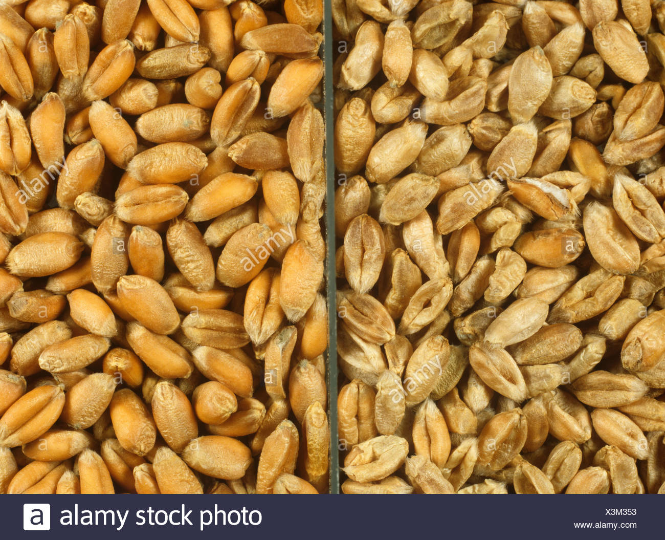 Shrivelled wheat grain from a diseased crop compared to plump healthy seed - Stock Image
