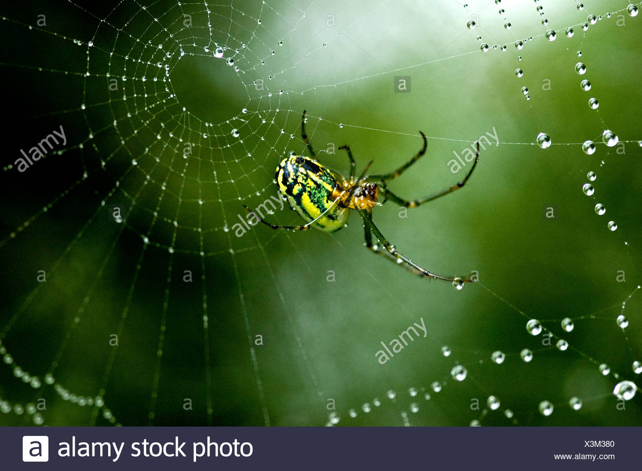 Cobweb weaver spider rests on his dew covered web. - Stock Image