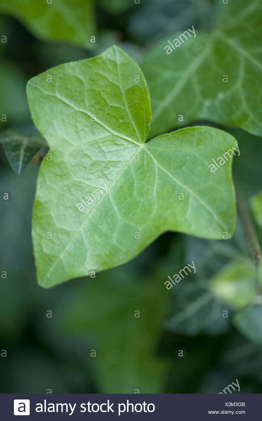common ivy, hedera helix Stock Photo