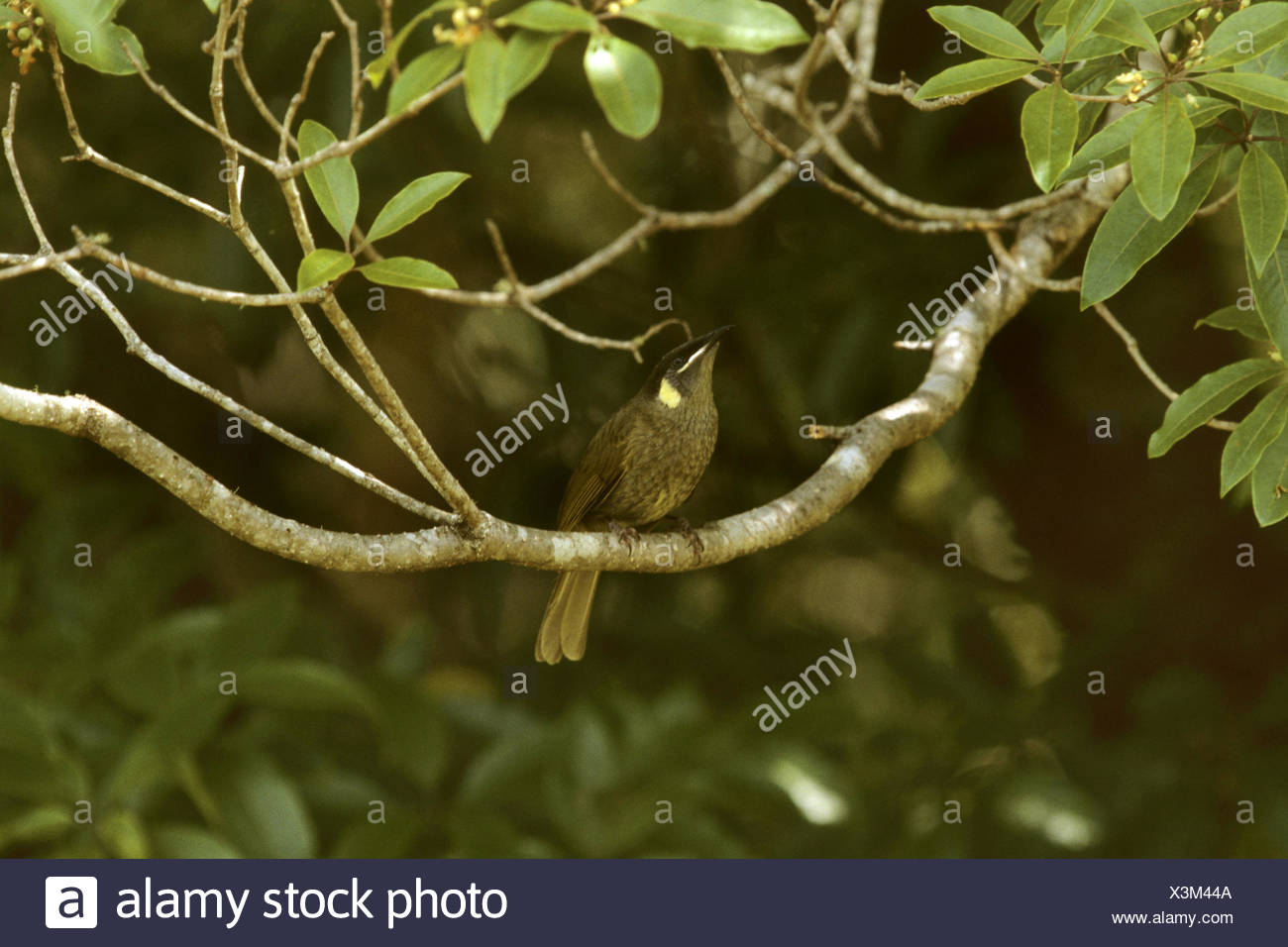 lewin honeyeater (Meliphaga lewinii), on a branch - Stock Image