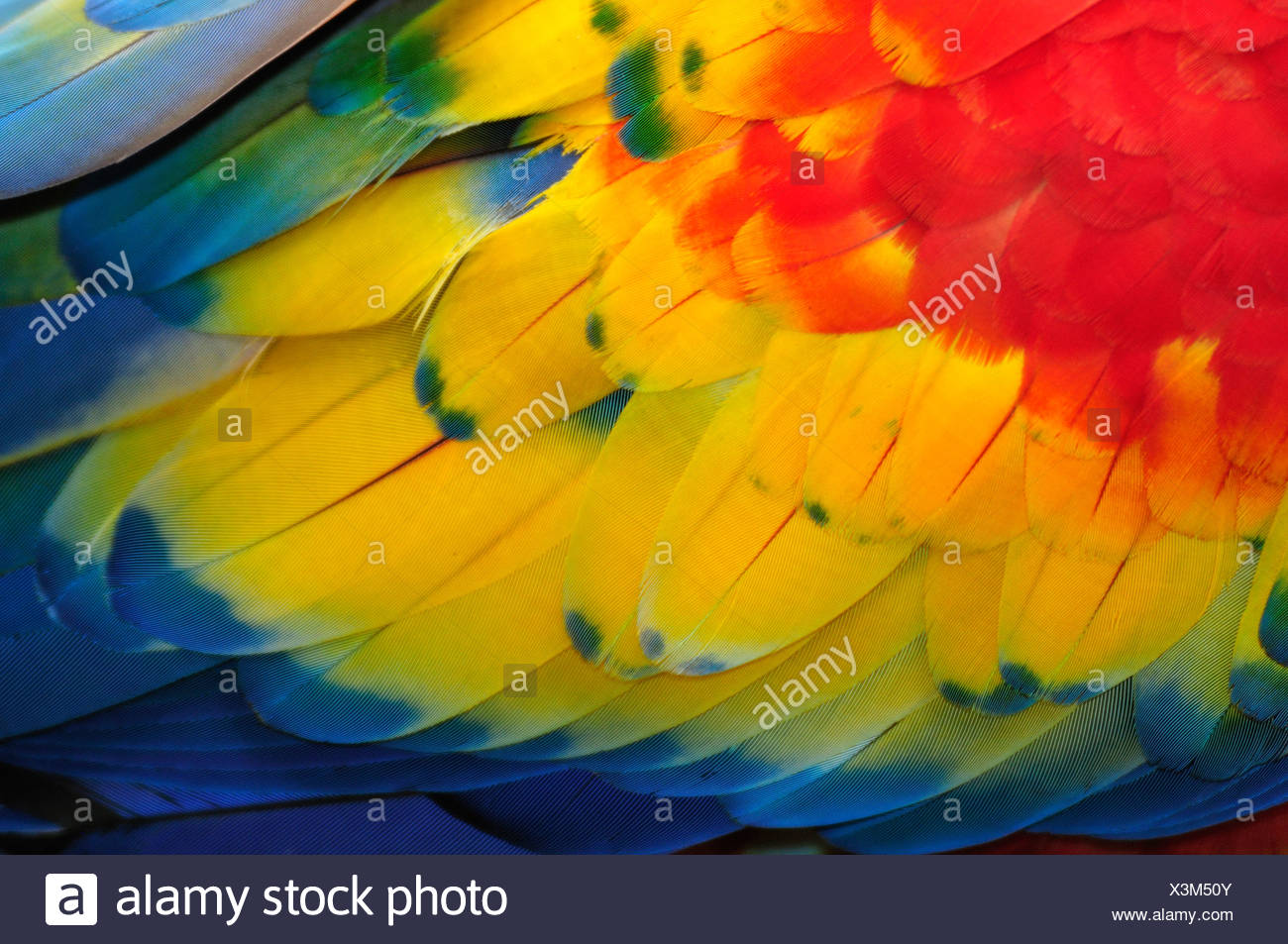 Macaw, parrots, Central America, Honduras, feathers, colours, concepts, Stock Photo