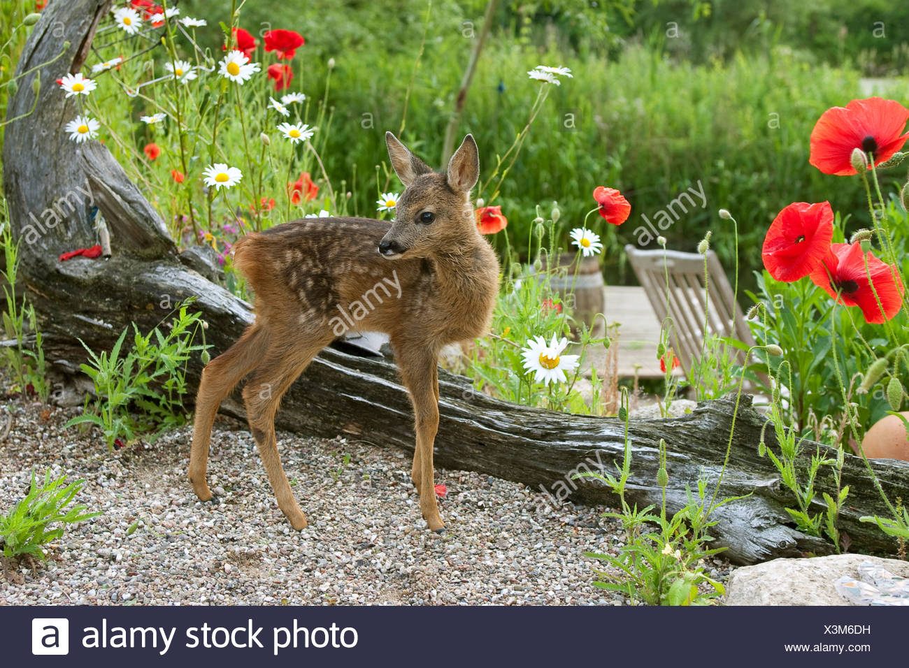 roe deer (Capreolus capreolus), fawn in the garden, Germany - Stock Image