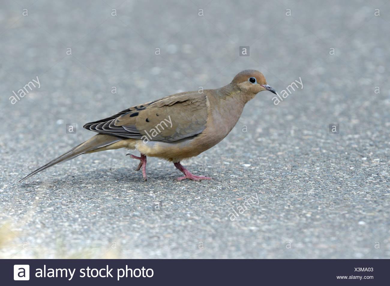Mourning Dove - Zenaida macroura - 1st winter - Stock Image