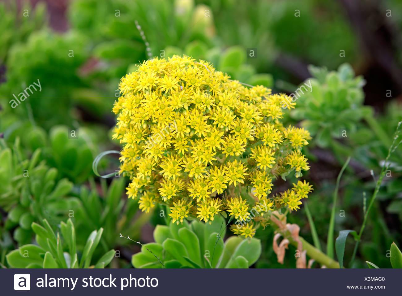 Aeonium Aeonium Simsii Yellow Flowers California Usa America