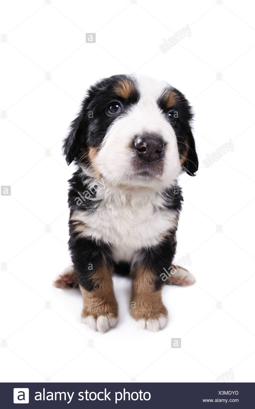 Berner Sennenhund Welpe / Bernese Mountain Dog Puppy Stock Photo