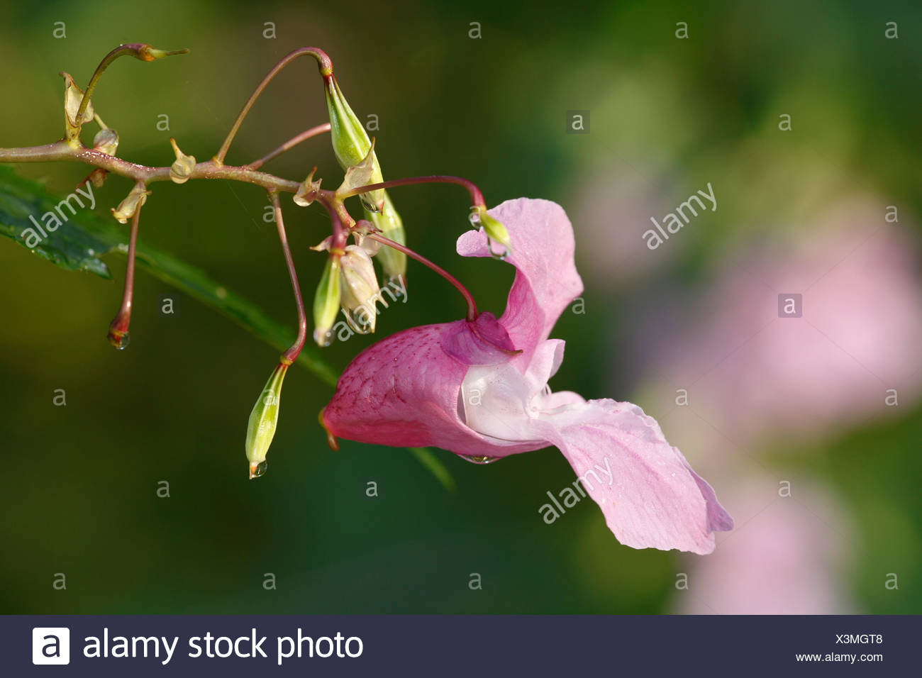 Flower and seed pod of Himalayan balsam, Indian balsam (Impatiens glandulifera), neophyte Stock Photo