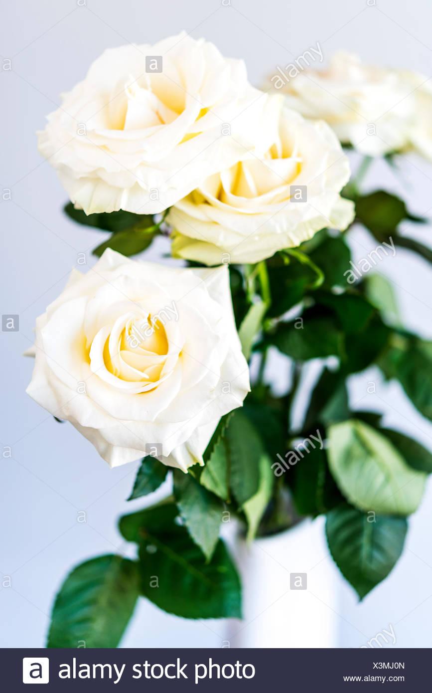 white roses - Stock Image