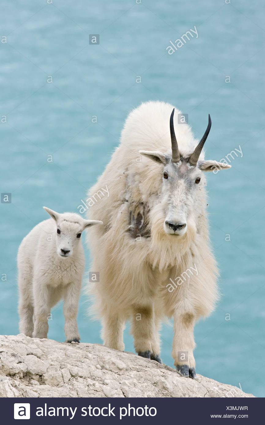 Mountain goat (Oreamnos americanus) nanny and kid overlooking Athabasca River Jasper National Park Alberta Canada.The nanny is s Stock Photo
